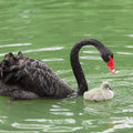 Black swan mum and her baby a Stock Image
