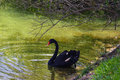 Black swan picture on green lake and tree Stock Photography