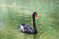 Black swan in the pond Royalty Free Stock Images