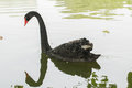 Black swan in the pond Stock Photography