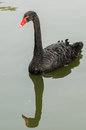 Black swan in the pond Royalty Free Stock Image