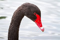 Black swan portrait Stock Images