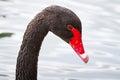 Black swan portrait Royalty Free Stock Photo
