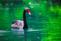 Black swan with a red beak in the green pond Stock Photos