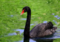 Black swan with a red beak and red eyes floating on the pond. Royalty Free Stock Photo