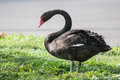 Black swan stands still in the afternoon light without much movement Royalty Free Stock Photography