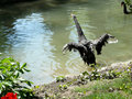 Black Swan take off Royalty Free Stock Images