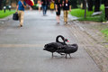Black swan two swans crossing the road Stock Image