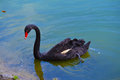 Black swan on vivid blue lake image background Royalty Free Stock Image