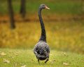 Black swan the walking through the meadow Stock Photography