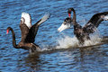 Black Swans Courting Royalty Free Stock Photo