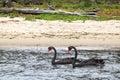 Black swans cygnus atratus swiming at the shore of lake king in lakes entrance victoria australia Stock Photo