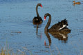 Black swans pair of cygnus atratus on lake in south western victoria Stock Photography