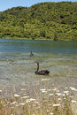 Black swans two on lake tarawera near rororua north island new zealand Stock Photo