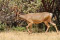 Black-tailed buck Stock Image