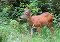 Black Tailed Buck Royalty Free Stock Photography