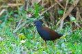 Black-tailed Crake Royalty Free Stock Photo