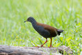The black tailed crake amaurornis bicolor is a species of bird in rallidae family it is found in bhutan china india laos Royalty Free Stock Photos