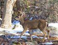 Black-tailed deer in the winter Royalty Free Stock Photo