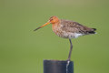 Black tailed godwit Stock Photo