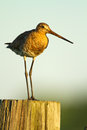 Black Tailed Godwit Stock Photography