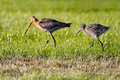 Black Tailed Godwit Royalty Free Stock Images