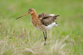 Black-tailed godwit Stock Image