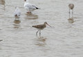 Black tailed godwit beautiful alone eastern limosa melanuroides Stock Images