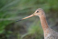 Black tailed godwit in the grass Royalty Free Stock Photography