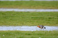 Black tailed godwit in the grass Stock Photography