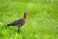 Black tailed godwit in the grass Royalty Free Stock Images