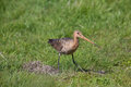 Black tailed godwit in the grass walking an Royalty Free Stock Photo