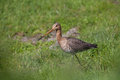 Black tailed godwit in the grass walking an Stock Image