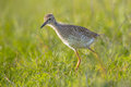 Black-tailed Godwit (Limosa Li...