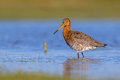 Black Tailed Godwit Standing A...
