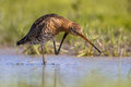 Black-tailed Godwit Wader Bird...
