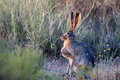 Black-tailed Jackrabbit Royalty Free Stock Images