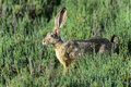Black-tailed jackrabbit, don edwards nwr, ca Royalty Free Stock Photo