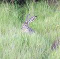 Black-tailed Jackrabbit - Lepus californicus Royalty Free Stock Photo