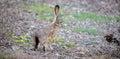 Black-tailed Jackrabbit - Lepus californicus, side view Royalty Free Stock Photo