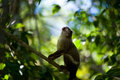 Black tailed marmoset a lookup in praying position in a brazilian pantanal forest Royalty Free Stock Photo