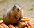 Black tailed prairie dog a with carrots and apple Stock Photography