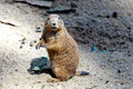Black tailed prairie dog closeup of a looking around Royalty Free Stock Photography