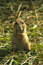 Black-tailed prairie dog (Cynomys ludovicianus) Royalty Free Stock Photo