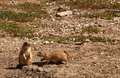Black tailed prairie dog cynomys ludovicianus a burrowing rodents grasslands Stock Photos