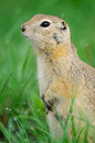 Black tailed prairie dog cynomys ludovicianus dogs grasslands national park saskatchewan canada Stock Image