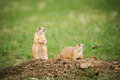 Black tailed prairie dog cynomys ludovicianus dogs grasslands national park saskatchewan canada Stock Photography