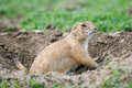 Black tailed prairie dog cynomys ludovicianus dogs grasslands national park saskatchewan canada Stock Photos