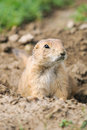Black tailed prairie dog cynomys ludovicianus dogs grasslands national park saskatchewan canada Stock Photo
