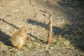 Black tailed prairie dog cynomys ludovicianus sitting on the ground Stock Photo